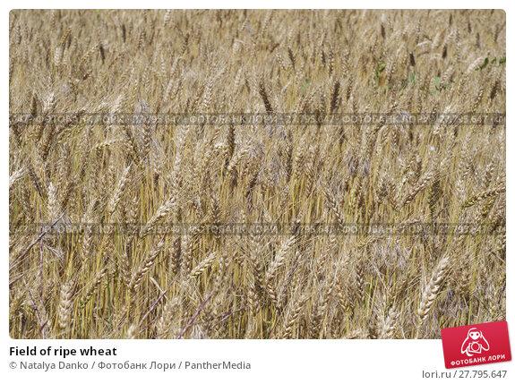 Купить «Field of ripe wheat», фото № 27795647, снято 26 февраля 2018 г. (c) PantherMedia / Фотобанк Лори