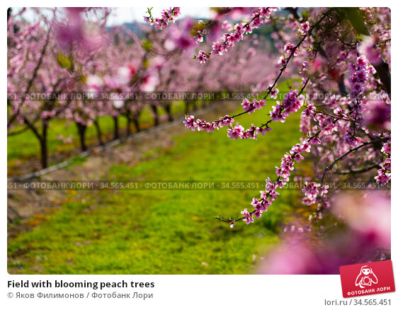 Field with blooming peach trees. Стоковое фото, фотограф Яков Филимонов / Фотобанк Лори