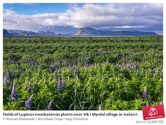 Fields of Lupinus nootkatensis plants near Vik i Myrdal village in Iceland. Стоковое фото, фотограф Konrad Zelazowski / easy Fotostock / Фотобанк Лори