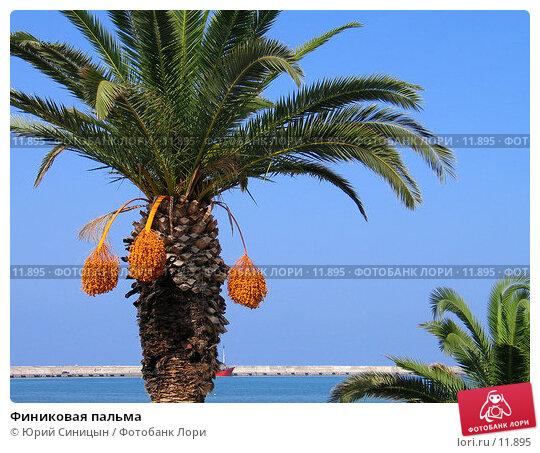 Финиковая пальма, фото № 11895, снято 18 сентября 2006 г. (c) Юрий Синицын / Фотобанк Лори