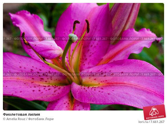Фиолетовая лилия. Стоковое фото, фотограф Amelia Rouz / Фотобанк Лори