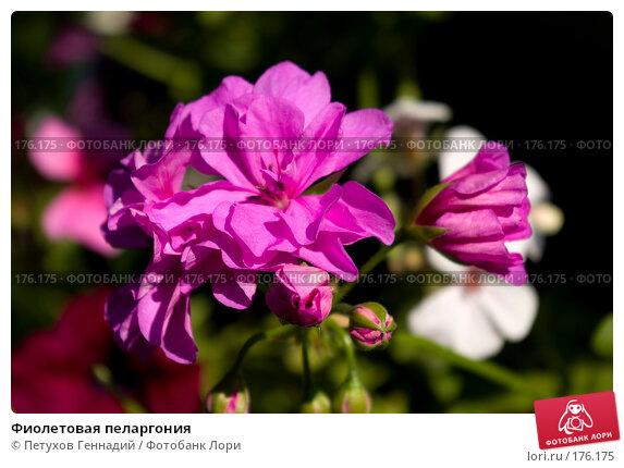 Купить «Фиолетовая пеларгония», фото № 176175, снято 23 июня 2007 г. (c) Петухов Геннадий / Фотобанк Лори