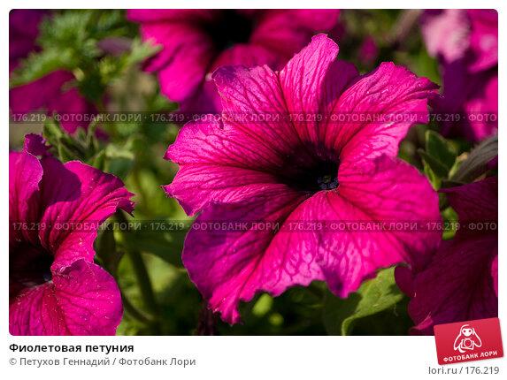 Фиолетовая петуния, фото № 176219, снято 24 июля 2007 г. (c) Петухов Геннадий / Фотобанк Лори