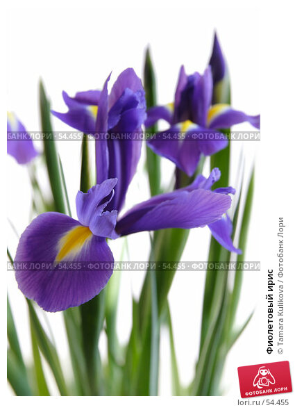 Фиолетовый ирис, фото № 54455, снято 25 марта 2007 г. (c) Tamara Kulikova / Фотобанк Лори