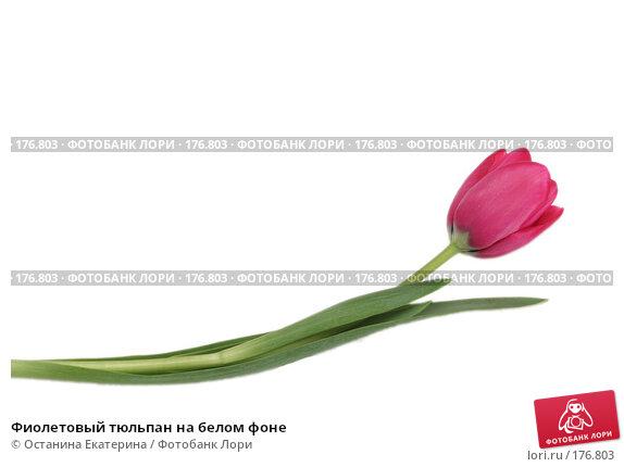 Купить «Фиолетовый тюльпан на белом фоне», фото № 176803, снято 15 января 2008 г. (c) Останина Екатерина / Фотобанк Лори