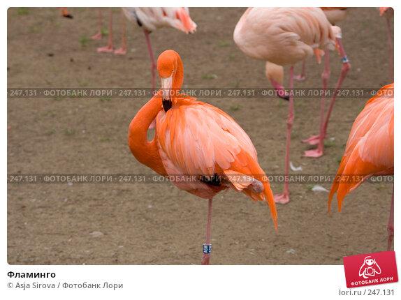 Фламинго, фото № 247131, снято 6 апреля 2008 г. (c) Asja Sirova / Фотобанк Лори