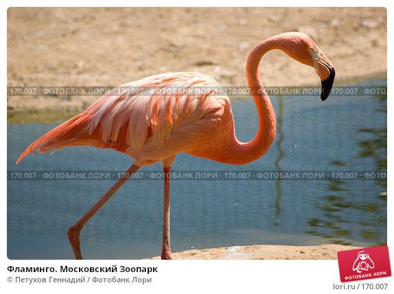 Фламинго. Московский Зоопарк, фото № 170007, снято 23 июня 2007 г. (c) Петухов Геннадий / Фотобанк Лори