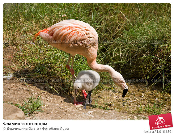 Купить «Фламинго с птенцом», фото № 1016659, снято 29 июня 2009 г. (c) Демчишина Ольга / Фотобанк Лори
