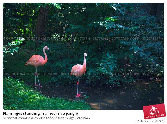 Flamingos standing in a river in a jungle. Стоковое фото, фотограф Zoonar.com/Polarpx / age Fotostock / Фотобанк Лори
