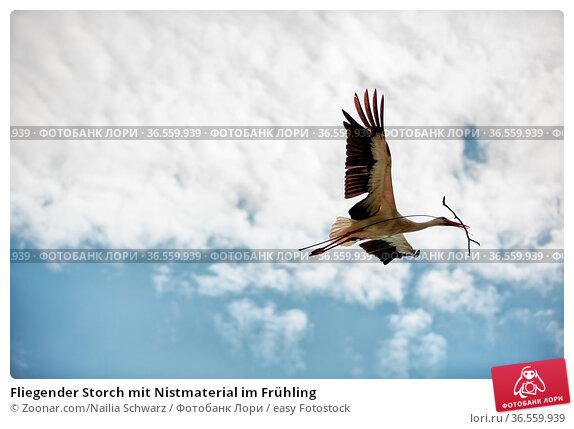 Fliegender Storch mit Nistmaterial im Frühling. Стоковое фото, фотограф Zoonar.com/Nailia Schwarz / easy Fotostock / Фотобанк Лори