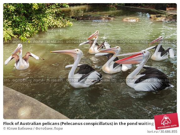 Купить «Flock of Australian pelicans (Pelecanus conspicillatus) in the pond waiting for feeding», фото № 30686855, снято 28 сентября 2010 г. (c) Юлия Бабкина / Фотобанк Лори