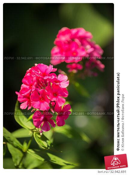 Купить «Флокс метельчатый (Phlox paniculata)», фото № 32942691, снято 12 июля 2018 г. (c) Юлия Бабкина / Фотобанк Лори