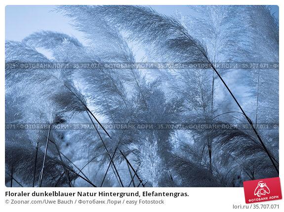 Floraler dunkelblauer Natur Hintergrund, Elefantengras. Стоковое фото, фотограф Zoonar.com/Uwe Bauch / easy Fotostock / Фотобанк Лори