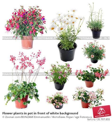 Flower plants in pot in front of white background. Стоковое фото, фотограф Zoonar.com/BONZAMI Emmanuelle / age Fotostock / Фотобанк Лори