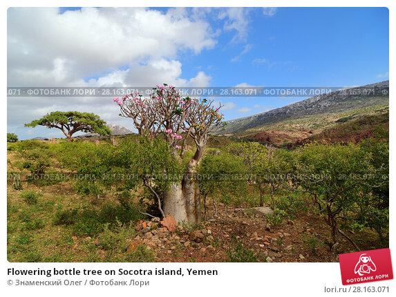 Купить «Flowering bottle tree on Socotra island, Yemen», фото № 28163071, снято 10 марта 2010 г. (c) Знаменский Олег / Фотобанк Лори