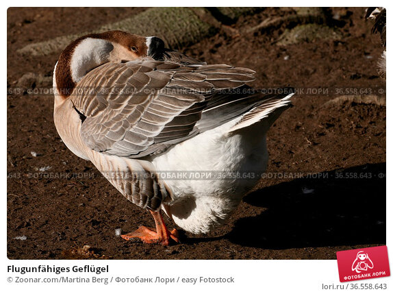 Flugunfähiges Geflügel. Стоковое фото, фотограф Zoonar.com/Martina Berg / easy Fotostock / Фотобанк Лори