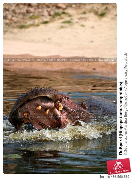 Flußperd (Hippopotamus amphibius) Стоковое фото, фотограф Zoonar.com/Martina Berg / easy Fotostock / Фотобанк Лори