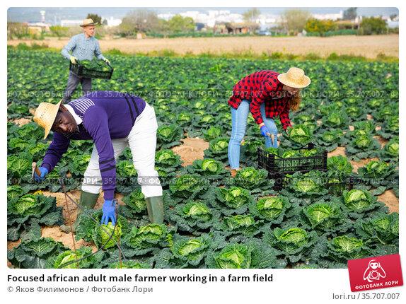 Focused african adult male farmer working in a farm field. Стоковое фото, фотограф Яков Филимонов / Фотобанк Лори