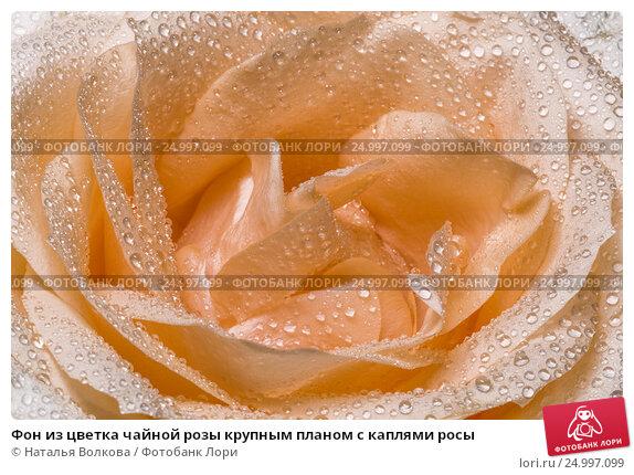 Купить «Фон из цветка чайной розы крупным планом с каплями росы», фото № 24997099, снято 27 марта 2016 г. (c) Наталья Волкова / Фотобанк Лори
