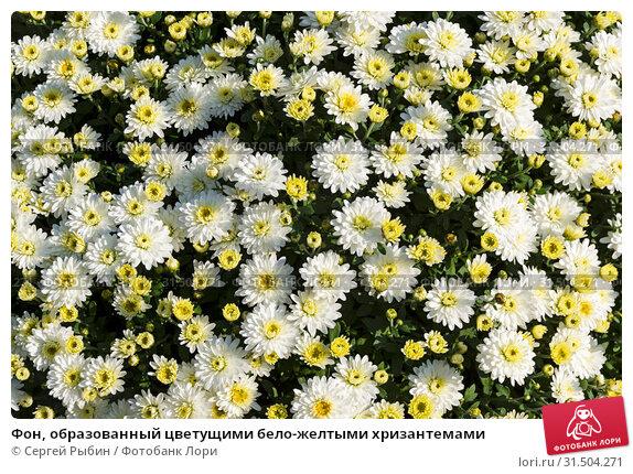 Купить «Фон, образованный цветущими бело-желтыми хризантемами», фото № 31504271, снято 7 сентября 2018 г. (c) Сергей Рыбин / Фотобанк Лори