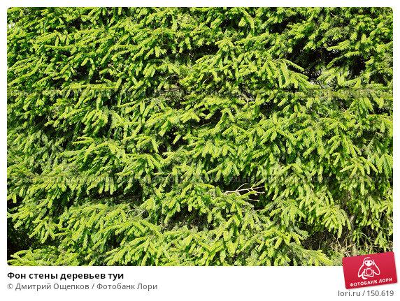 Фон стены деревьев туи, фото № 150619, снято 10 июня 2007 г. (c) Дмитрий Ощепков / Фотобанк Лори