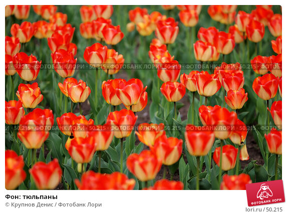 Фон: тюльпаны, фото № 50215, снято 8 апреля 2007 г. (c) Крупнов Денис / Фотобанк Лори