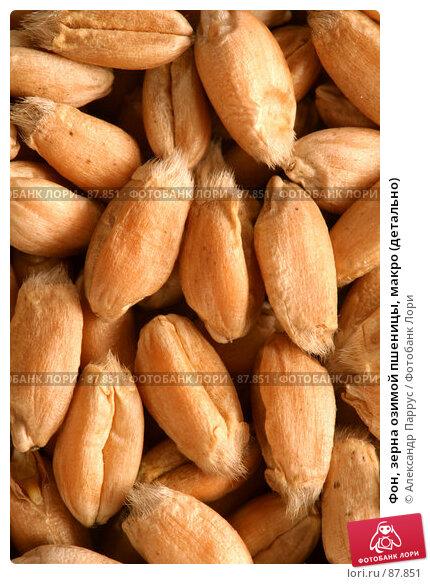 Купить «Фон, зерна озимой пшеницы, макро (детально)», фото № 87851, снято 18 сентября 2007 г. (c) Александр Паррус / Фотобанк Лори