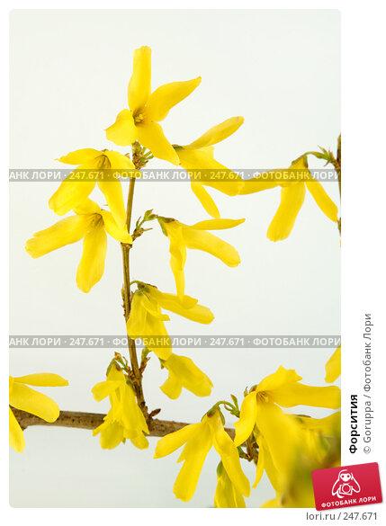 Форсития, фото № 247671, снято 9 апреля 2008 г. (c) Goruppa / Фотобанк Лори