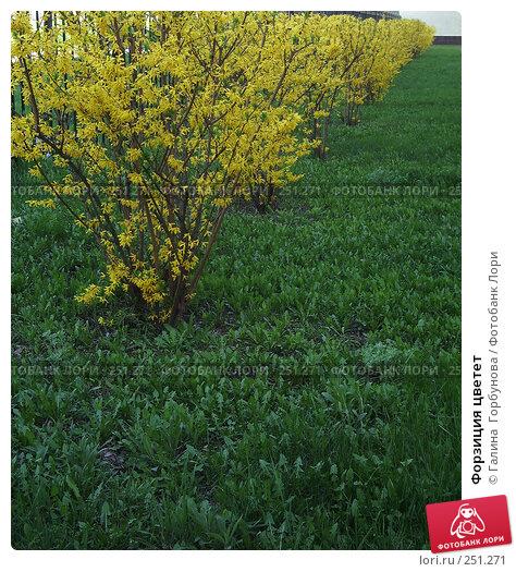 Форзиция цветет, фото № 251271, снято 20 февраля 2017 г. (c) Галина  Горбунова / Фотобанк Лори