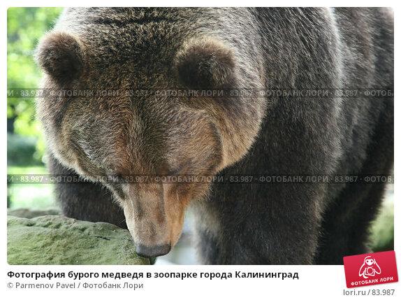 Фотография бурого медведя в зоопарке города Калининград, фото № 83987, снято 4 сентября 2007 г. (c) Parmenov Pavel / Фотобанк Лори