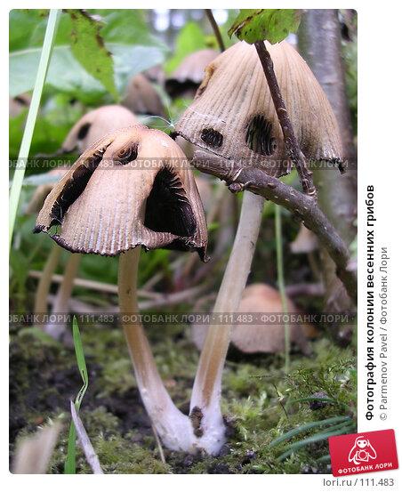 Фотография колонии весенних грибов, фото № 111483, снято 2 октября 2004 г. (c) Parmenov Pavel / Фотобанк Лори