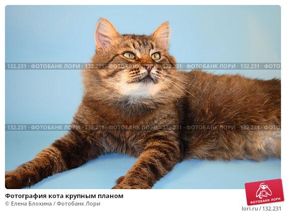 Фотография кота крупным планом, фото № 132231, снято 28 ноября 2007 г. (c) Елена Блохина / Фотобанк Лори