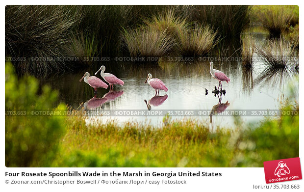 Four Roseate Spoonbills Wade in the Marsh in Georgia United States. Стоковое фото, фотограф Zoonar.com/Christopher Boswell / easy Fotostock / Фотобанк Лори
