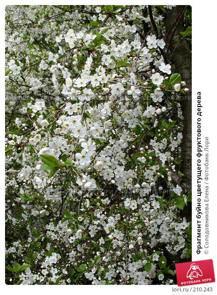 Фрагмент буйно цветущего фруктового дерева, фото № 210243, снято 13 мая 2007 г. (c) Солодовникова Елена / Фотобанк Лори