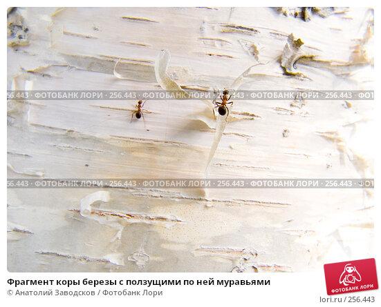 Фрагмент коры березы с ползущими по ней муравьями, фото № 256443, снято 3 августа 2006 г. (c) Анатолий Заводсков / Фотобанк Лори