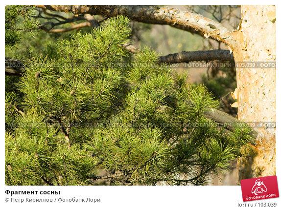 Купить «Фрагмент сосны», фото № 103039, снято 21 мая 2018 г. (c) Петр Кириллов / Фотобанк Лори