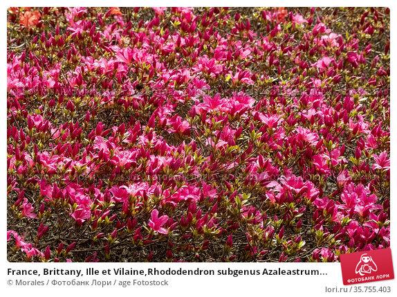 France, Brittany, Ille et Vilaine,Rhododendron subgenus Azaleastrum... Стоковое фото, фотограф Morales / age Fotostock / Фотобанк Лори