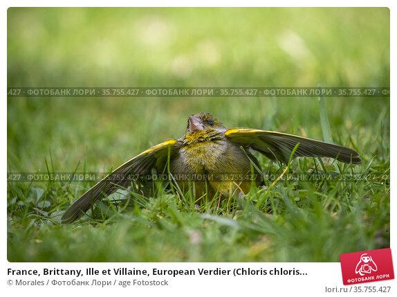 France, Brittany, Ille et Villaine, European Verdier (Chloris chloris... Стоковое фото, фотограф Morales / age Fotostock / Фотобанк Лори