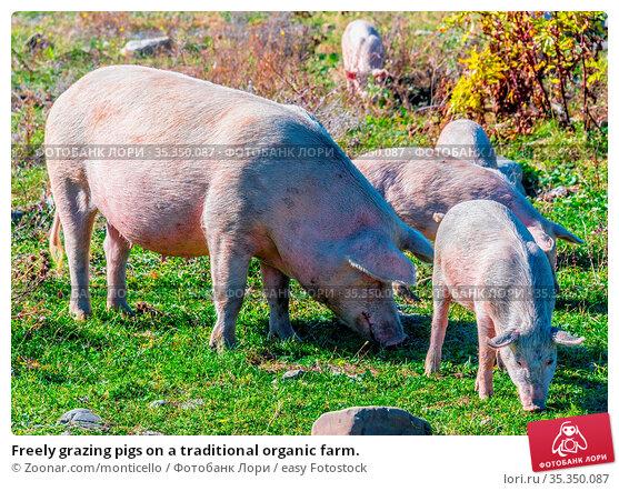 Freely grazing pigs on a traditional organic farm. Стоковое фото, фотограф Zoonar.com/monticello / easy Fotostock / Фотобанк Лори