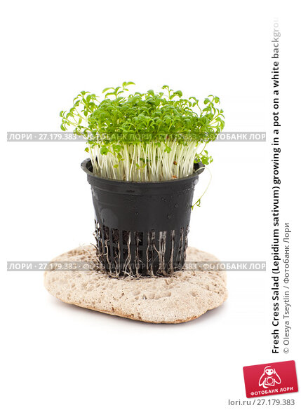 Fresh cress salad lepidium sativum growing in a pot on a white background - Salads can grow pots eat fresh ...