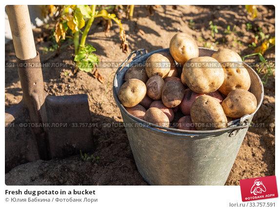Fresh dug potato in a bucket. Стоковое фото, фотограф Юлия Бабкина / Фотобанк Лори