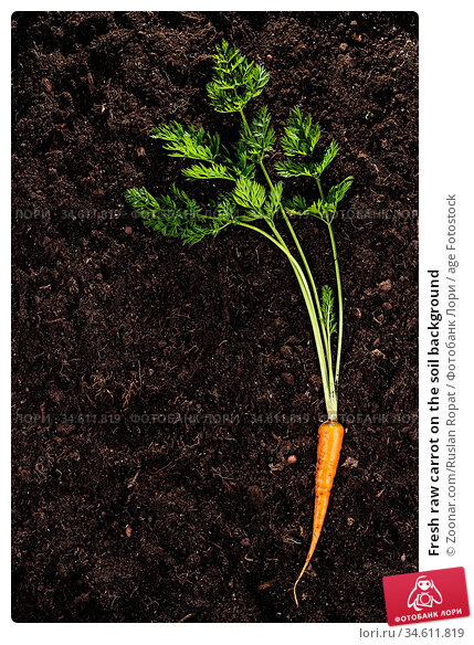 Fresh raw carrot on the soil background. Стоковое фото, фотограф Zoonar.com/Ruslan Ropat / age Fotostock / Фотобанк Лори