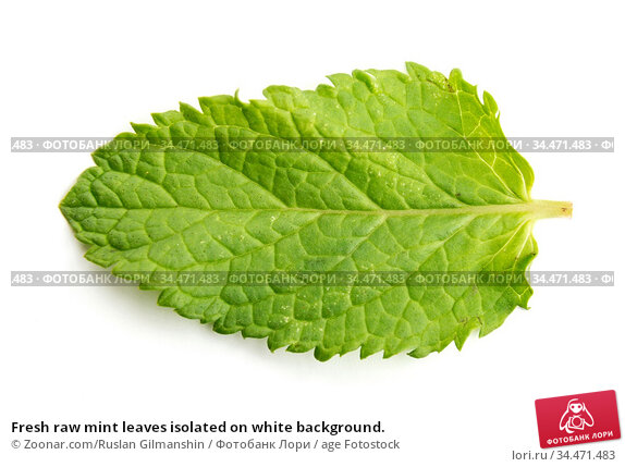 Fresh raw mint leaves isolated on white background. Стоковое фото, фотограф Zoonar.com/Ruslan Gilmanshin / age Fotostock / Фотобанк Лори