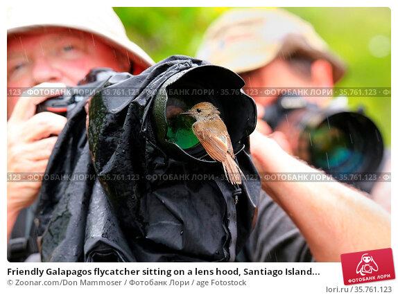 Friendly Galapagos flycatcher sitting on a lens hood, Santiago Island... Стоковое фото, фотограф Zoonar.com/Don Mammoser / age Fotostock / Фотобанк Лори