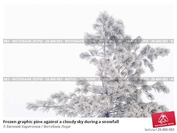 Купить «Frozen graphic pine against a cloudy sky during a snowfall», фото № 29400983, снято 2 ноября 2018 г. (c) Евгений Харитонов / Фотобанк Лори