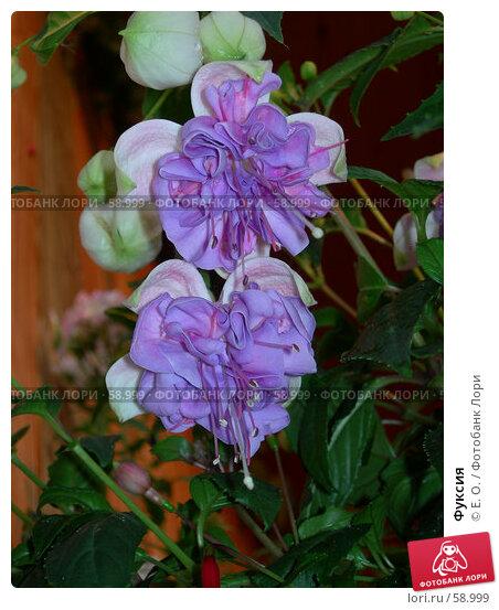 Фуксия, фото № 58999, снято 7 июля 2006 г. (c) Екатерина Овсянникова / Фотобанк Лори
