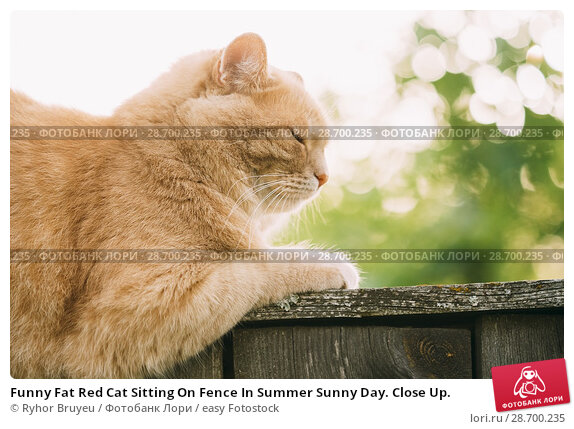 Купить «Funny Fat Red Cat Sitting On Fence In Summer Sunny Day. Close Up.», фото № 28700235, снято 17 июня 2016 г. (c) easy Fotostock / Фотобанк Лори