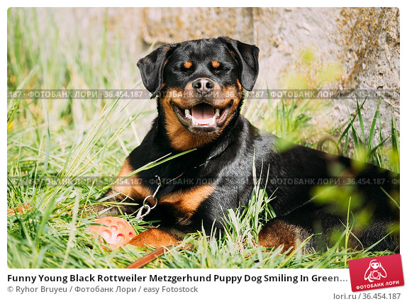 Funny Young Black Rottweiler Metzgerhund Puppy Dog Smiling In Green... Стоковое фото, фотограф Ryhor Bruyeu / easy Fotostock / Фотобанк Лори
