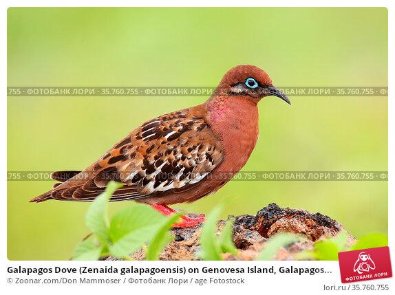 Galapagos Dove (Zenaida galapagoensis) on Genovesa Island, Galapagos... Стоковое фото, фотограф Zoonar.com/Don Mammoser / age Fotostock / Фотобанк Лори
