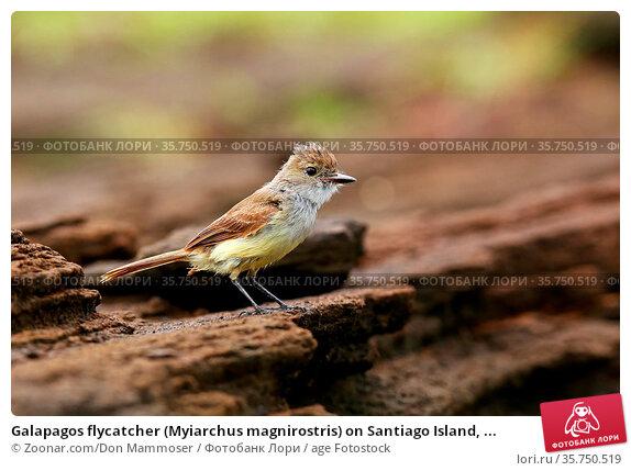 Galapagos flycatcher (Myiarchus magnirostris) on Santiago Island, ... Стоковое фото, фотограф Zoonar.com/Don Mammoser / age Fotostock / Фотобанк Лори